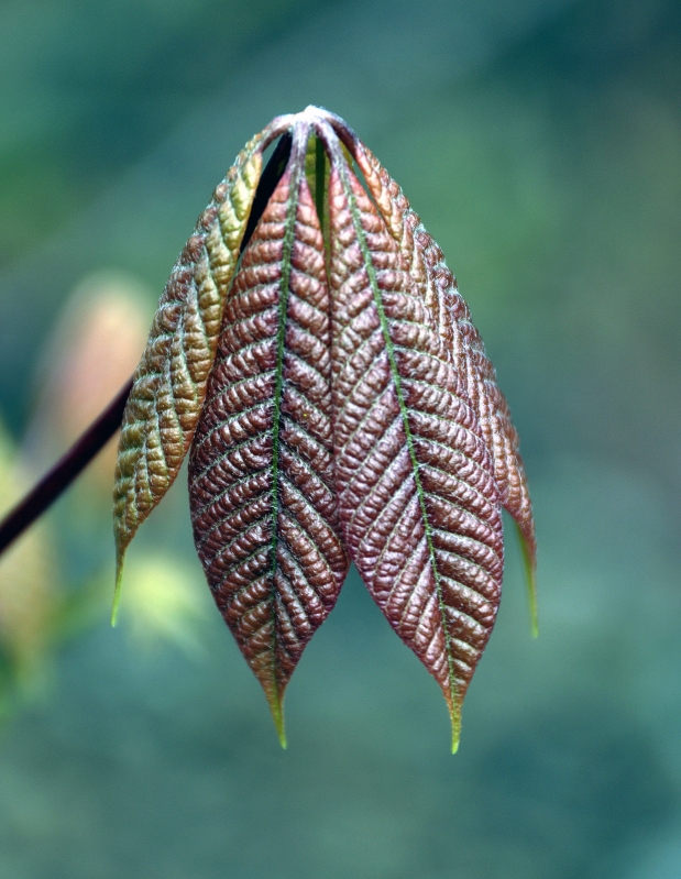 Indian horsechestnut leaf