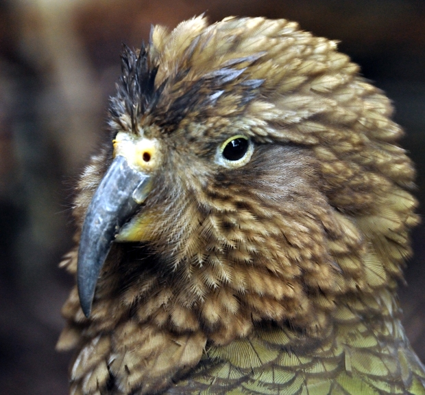 Keas Parrot