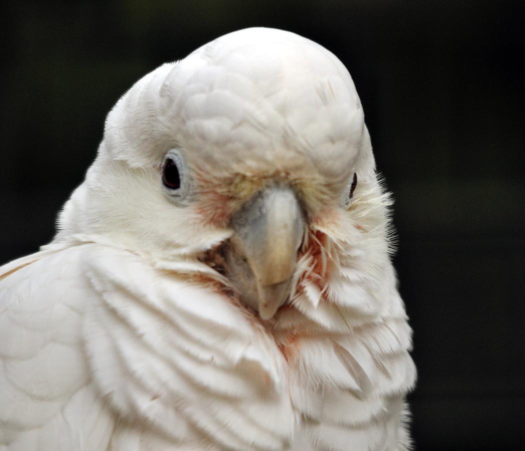 Goffin's Cockatoo