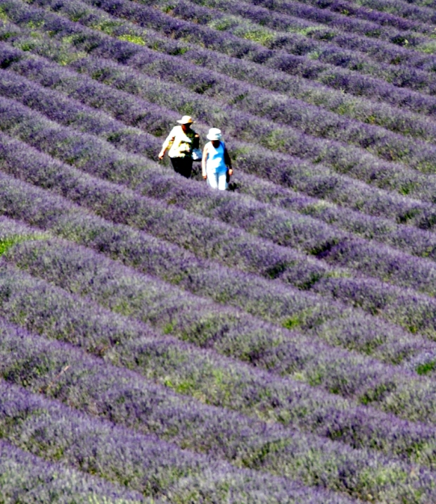 Walking the rows of lavender