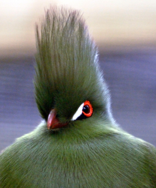 Bird With A Mohican