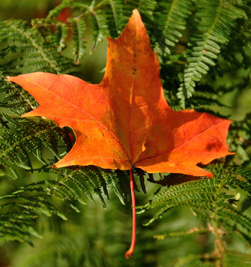 Leaf On Bracken