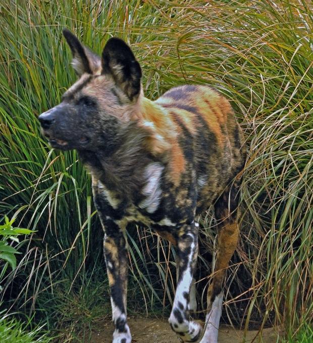 Africa Wild Dog