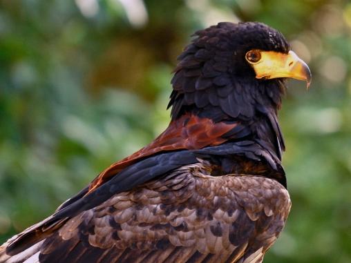Birds of prey 2 = Wisley 028-Small02JPeg