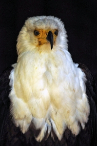 Birds of prey 2 = Wisley 025-Small02JPeg