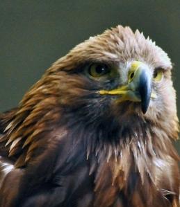 Birds of prey 2 = Wisley 050